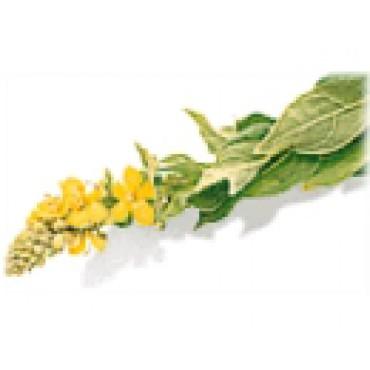 DIVIZNA - květ
