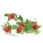 JETEL ČERVENÝ - květ+nať