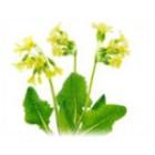 PRVOSENKA - květ